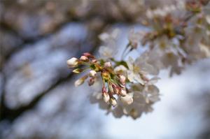 Sakura_koisi_2